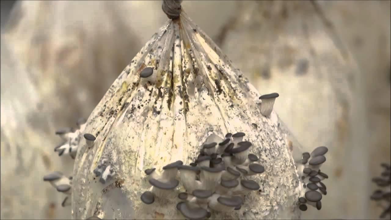 savez vous planter des champignons franchement bien. Black Bedroom Furniture Sets. Home Design Ideas
