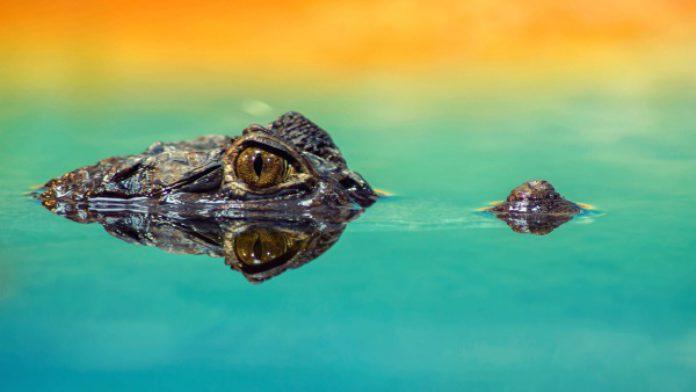 un crocodile et une école de savoir faire made in france