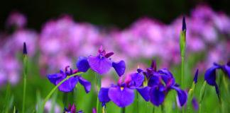 iris_fleur_franchementbien