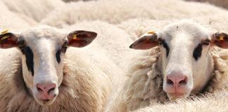 La filière laine en France